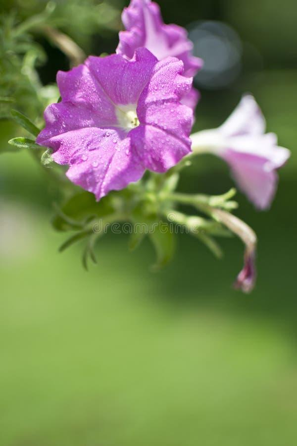 Blomma med vattendroppar arkivfoton