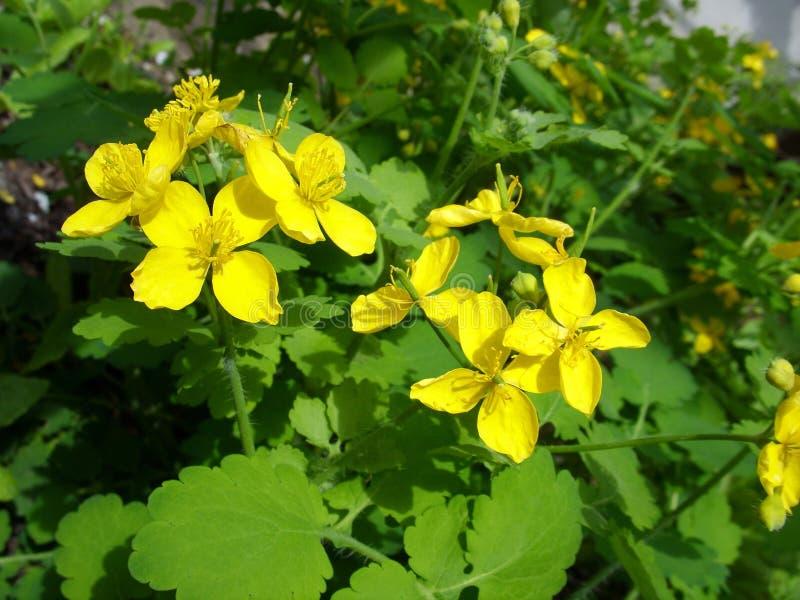 Blomma medicinalväxtcelandine royaltyfri bild