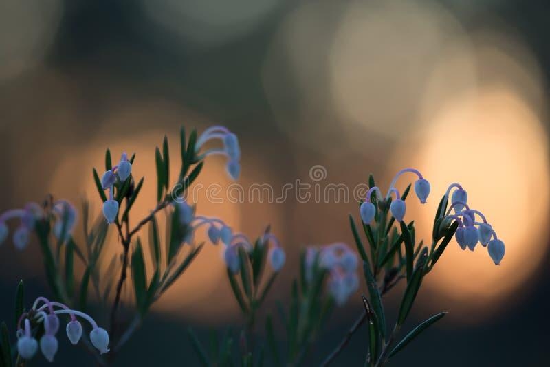 Blomma myr-rosmarin, Andromedapolifolia i solnedgång arkivfoto