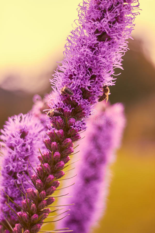 Blomma och bin arkivfoton