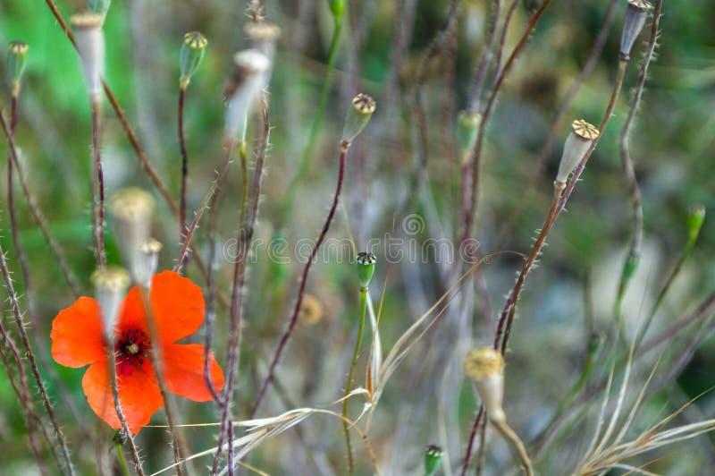 Blomma och frukt av vallmo på suddig bakgrund royaltyfria bilder