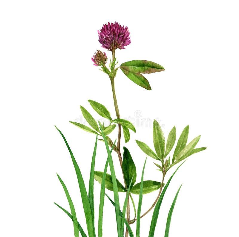 Blomma och gräs för vattenfärgteckningsväxt av släktet Trifolium royaltyfri illustrationer