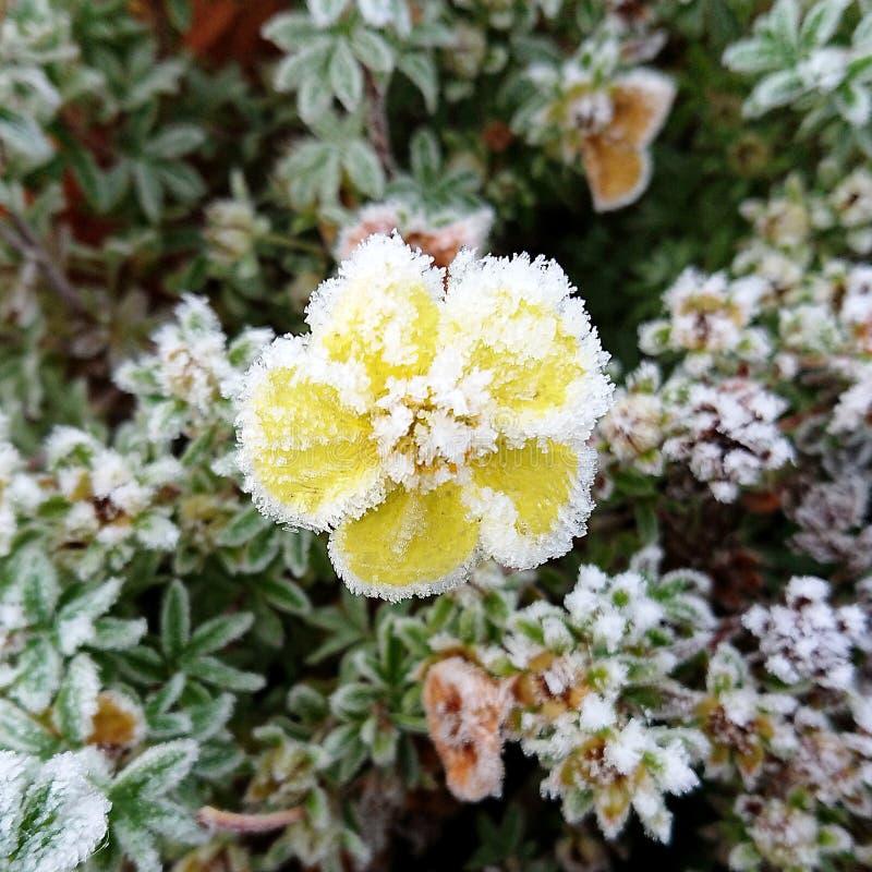 Blomma och is arkivbild