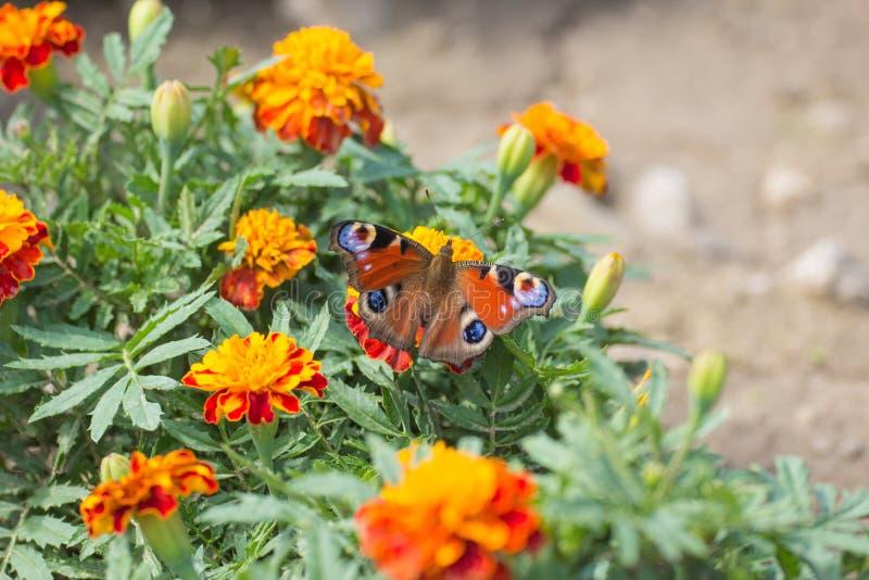 Blomma- och knoppringblomma med en fjäril royaltyfri fotografi
