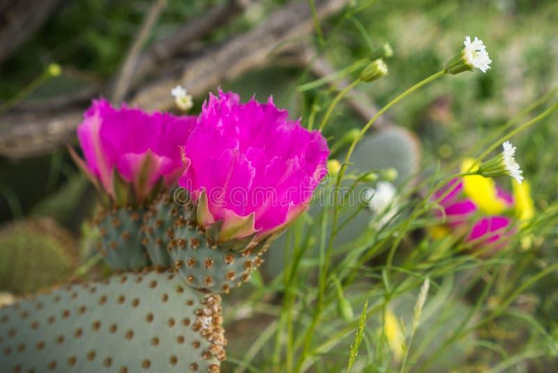 Blomma Opuntiabasilaris (den Beavertail kaktuns) som finnas i sydvästFörenta staterna (Mojaveöknen, Anza-Borrego ökendelstatspark fotografering för bildbyråer