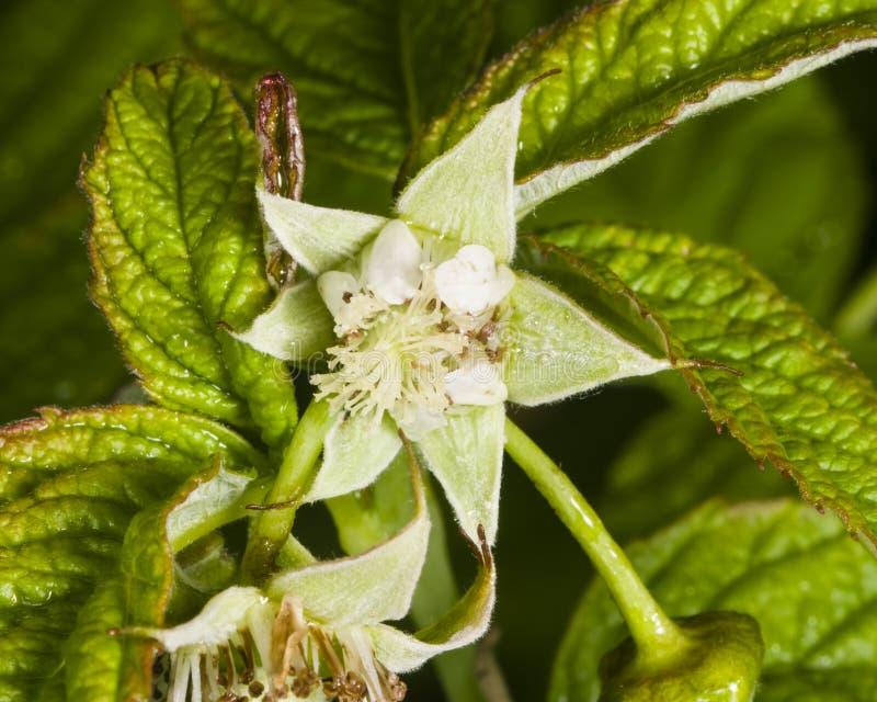 Blomma på det röda hallonet, Rubusidaeus, med bokehbakgrundsmakro, den selektiva fokusen, grund DOF royaltyfri fotografi