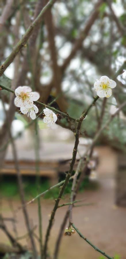 Blomma på monjam i changmai royaltyfri fotografi