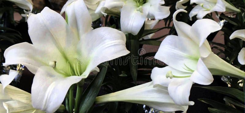 Blomma påsk Lilly som, är vita, från både Taiwan och Ryukyu öar royaltyfria foton