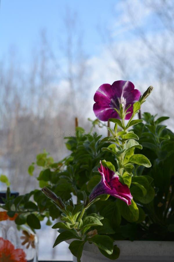 Blomma petuniahybrida i liten behållareträdgård på balkongen Första blommor bland nya gröna sidor royaltyfri bild