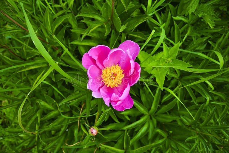 blomma pionpinken Och härlig bakgrund av gröna sidor royaltyfri fotografi