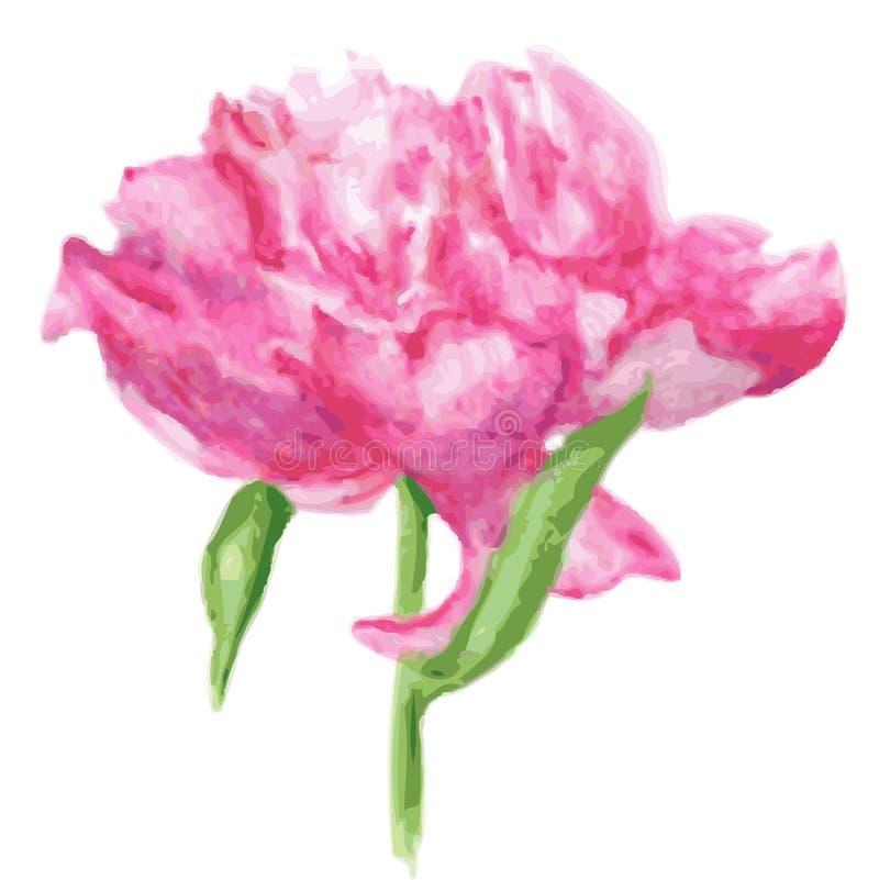 blomma pionpinken Vattenfärgillustrationisolat på vit royaltyfri illustrationer