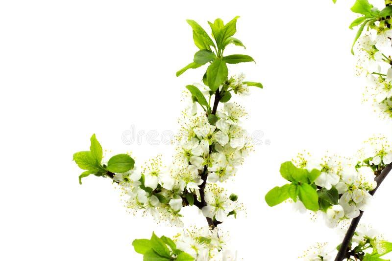Blomma plommonfilialer på vitt blomma för bakgrundsvår av fruktträd royaltyfri fotografi