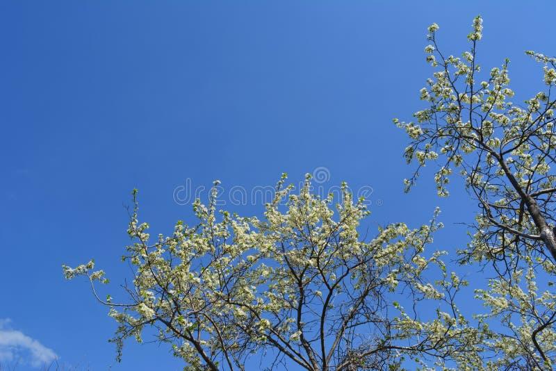 Blomma plommonträd i vårträdgård Filialer med många vita blommor mot klar blå himmel arkivbilder