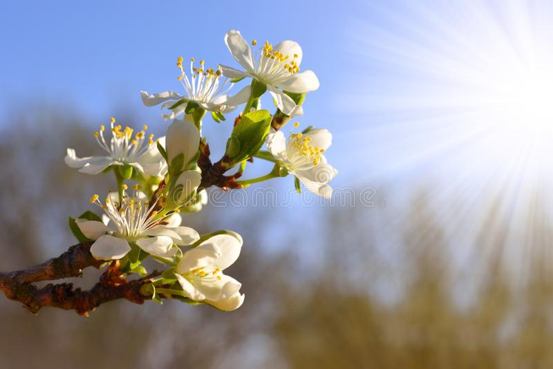 Blomma plommonträdet i solljus, vårfilial med vita blommor på oskarp naturbakgrund royaltyfri foto