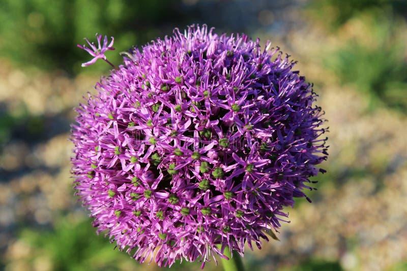 blomma purplen arkivfoto