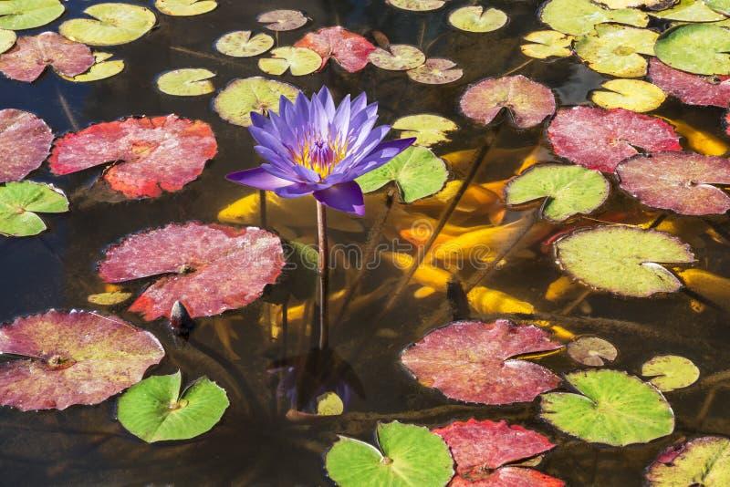 Blomma purpurfärgad lotusblomma i dammet och den dekorativa guldfisken arkivbild