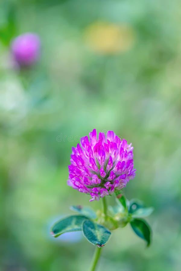 Blomma purpurfärgad växt av släktet Trifolium på en grön äng på en solig dag Gräs och blommor i fältet i sommaren Suddig bakgrund royaltyfri foto
