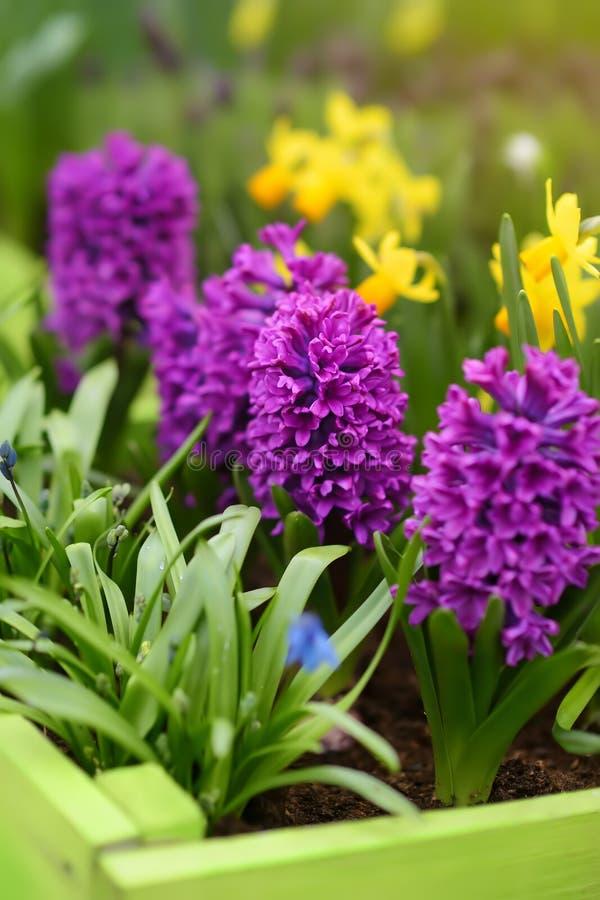 Blomma purpurfärgade hyacinter och gula påskliljor på blomsterrabatt i Keukenhof, Nederländerna N?rbild Ber?md tr?dg?rd av Europa arkivfoton