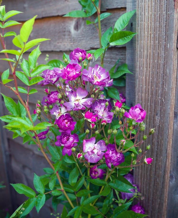 Blomma purpurfärgat vitt engelska Rosa Veilchenblau Climbing Rose Bush royaltyfria bilder