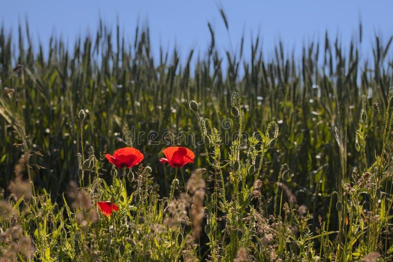 Blomma röda kulöra vallmo i vår arkivfoton
