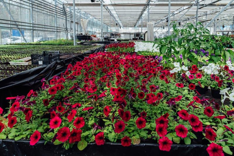 Blomma röda petunior som är fullvuxna i modernt växthus arkivfoton
