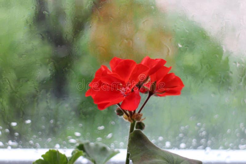 blomma red royaltyfri fotografi