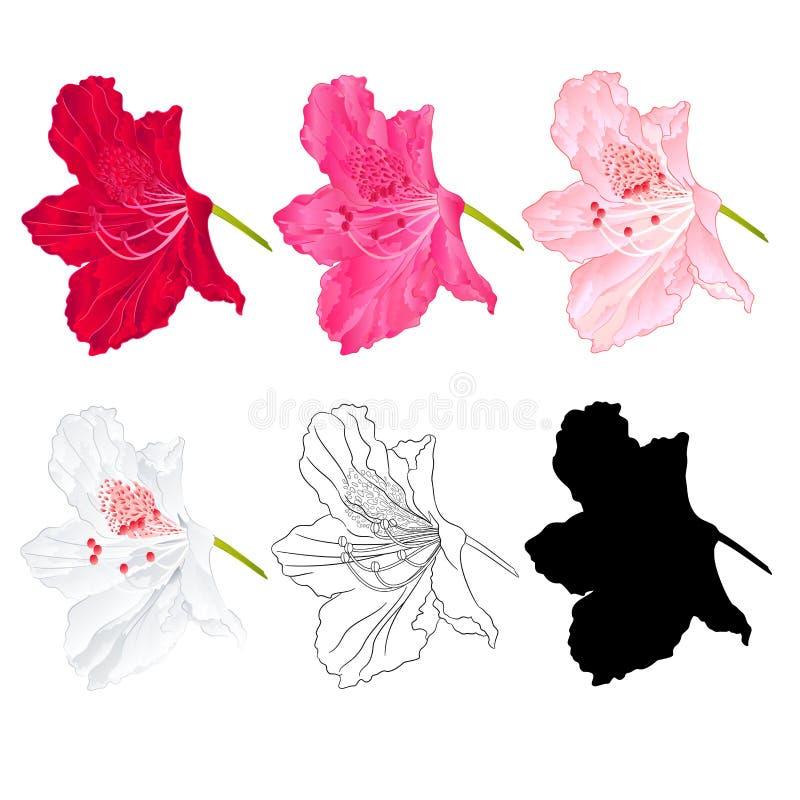 Blomma rhododendronbergbusken som är röd som är rosa, ljus - rosa färg, vit, översikten och konturn på en vit bakgrundstappningbl royaltyfri illustrationer