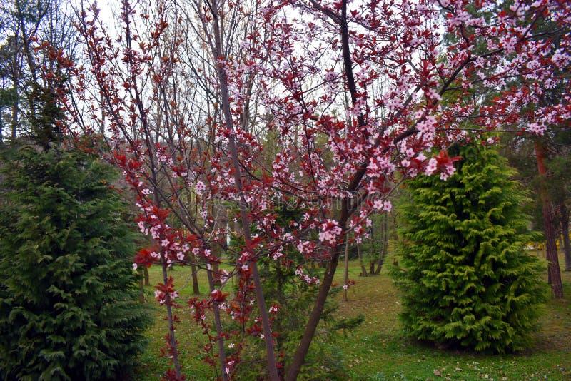 Blomma rosa blommor för persika på vårtiden arkivfoto