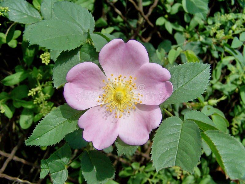 Blomma Rosa Canina, Rose Family, blomningväxt royaltyfria foton