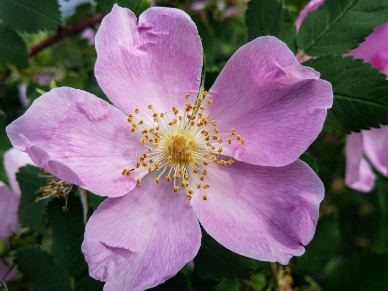 Blomma Rosa Canina, Rose Family, Rosa Palustris royaltyfri fotografi
