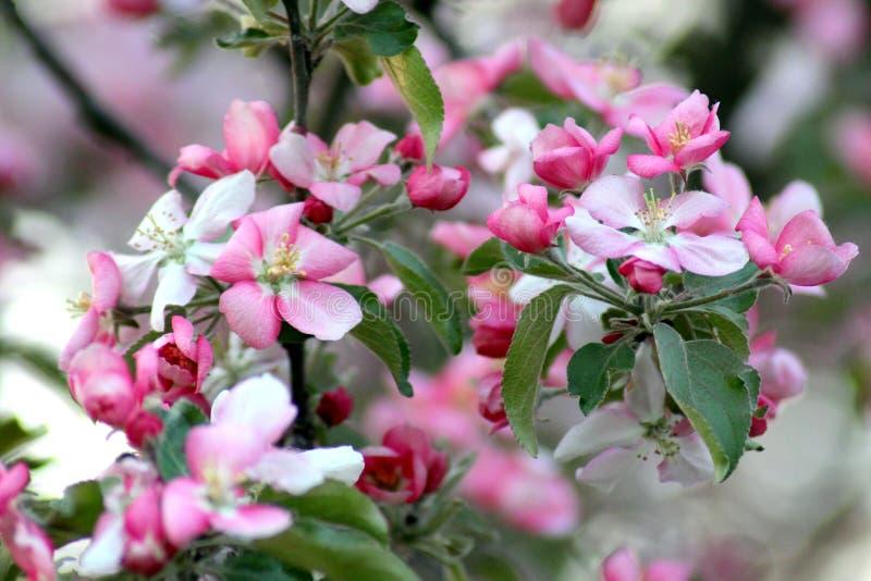 Blomma rosa färger för äppleträd i makro royaltyfria foton