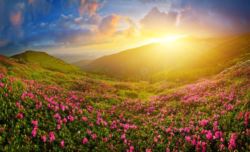 Blomma rosa rhododendron i sommarhögland royaltyfria foton