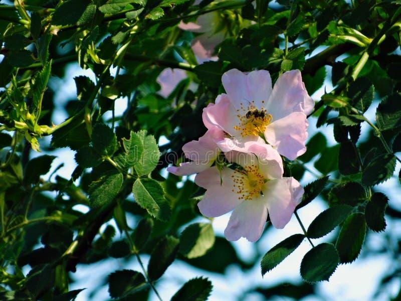 Blomma Rose Family, Rosa Canina, växt royaltyfri fotografi