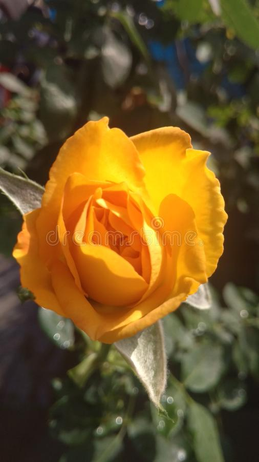 blomma rose yellow royaltyfri fotografi