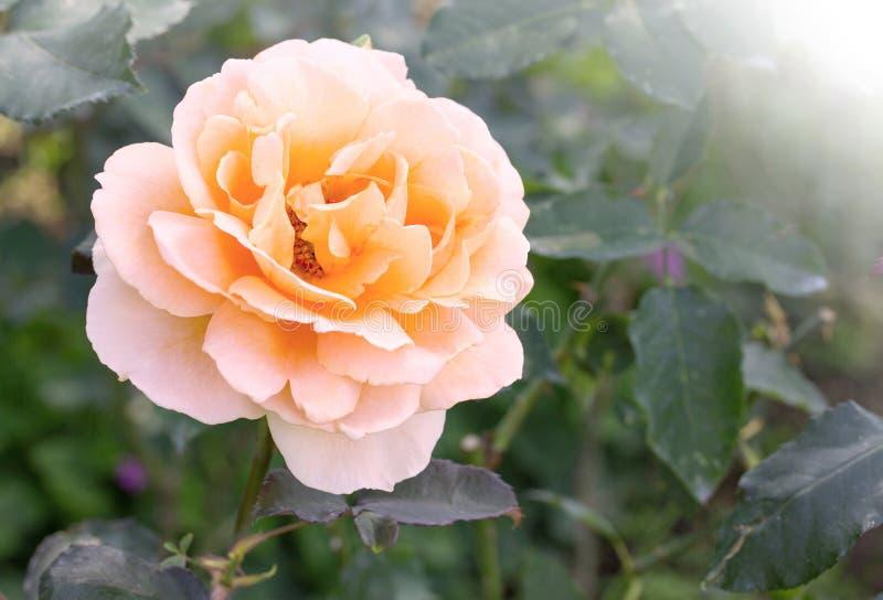 blomma rose yellow arkivfoto