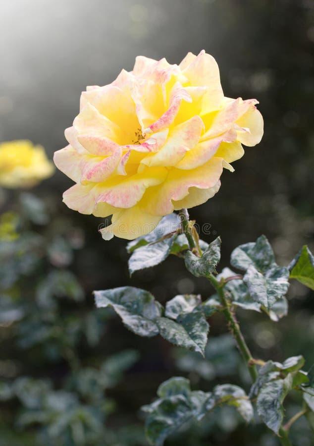 blomma rose yellow royaltyfri foto