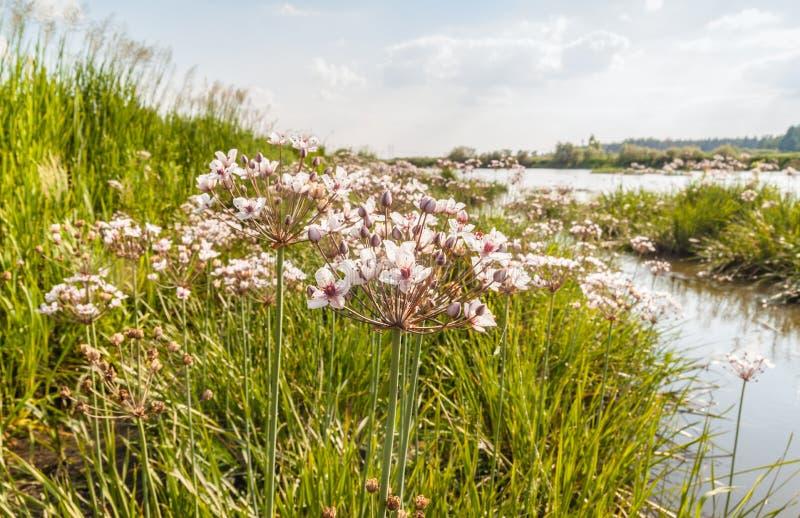Blomma rusa, den Butomus umbellatusen mot bakgrunden av ret royaltyfri bild