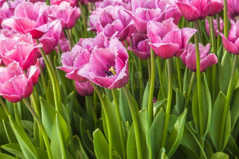 Blomma satte fransar på rosa tulpan i parkera i vår arkivbild
