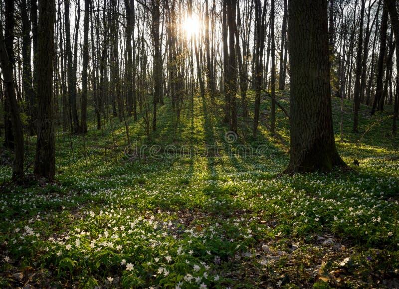 blomma skog arkivfoton