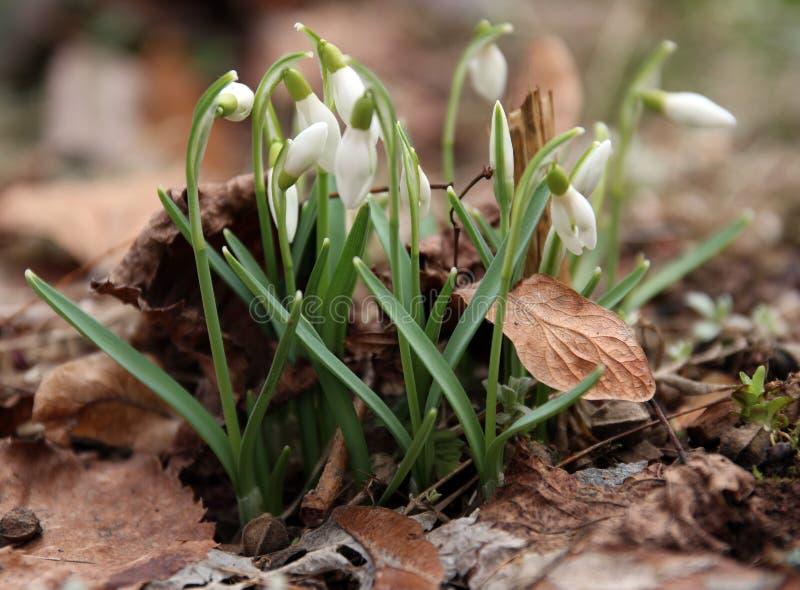 blomma snowdrop royaltyfria bilder