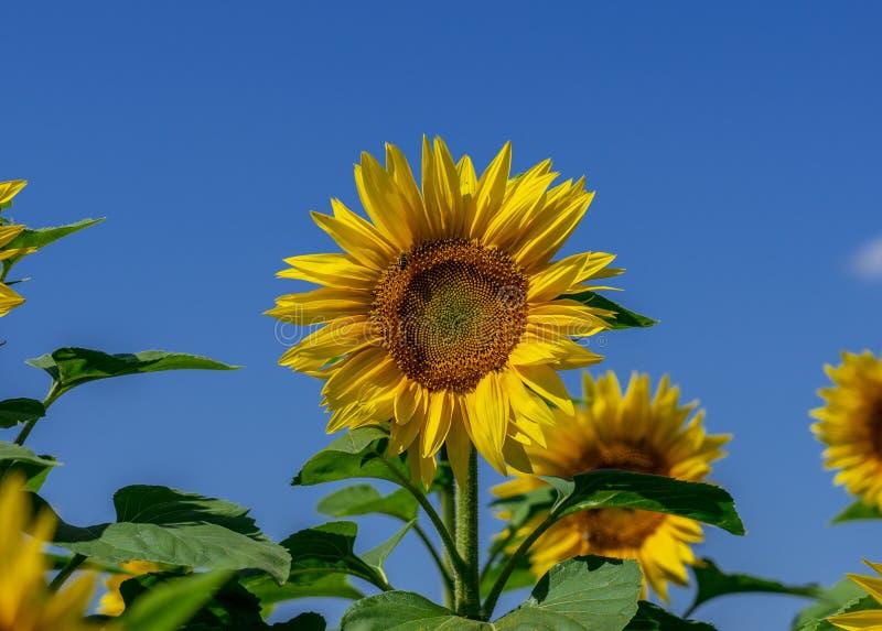 Blomma solrosblomman på bakgrunden av ljus blå himmel royaltyfri bild