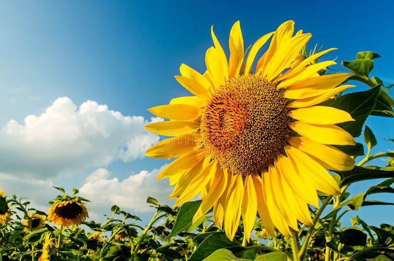 Blomma solrosen på en bakgrund av den blåa himlen arkivbild
