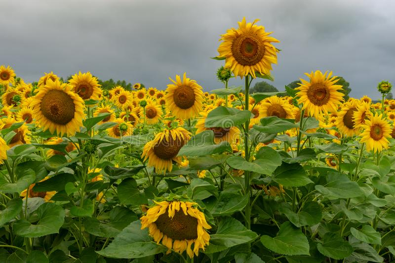 Blomma solrosfältcloseupen på den regniga sommardagen arkivbilder