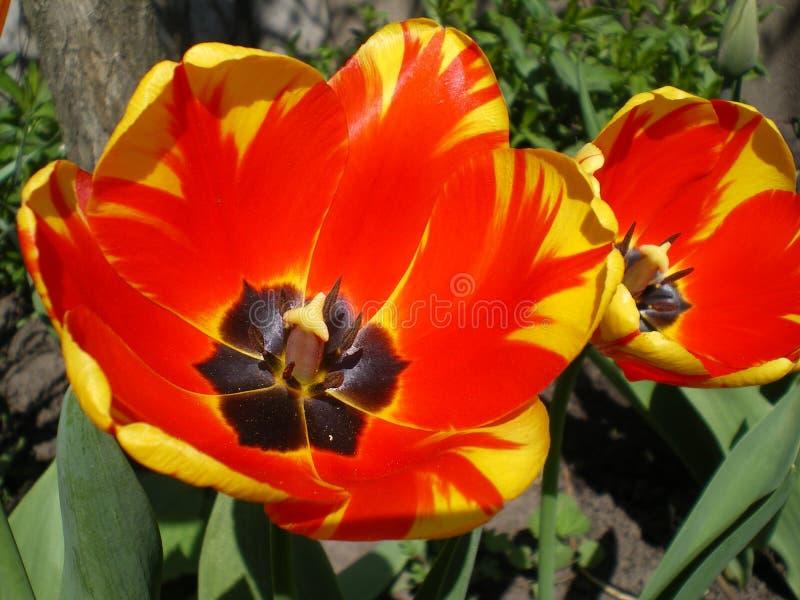 Blomma som är rött med gul närbild för bandDarwin tulpan arkivfoton
