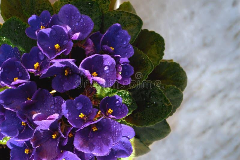 Blomma som är violett i en kruka på marmorfönsterbrädan royaltyfria bilder