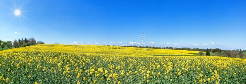 Blomma som sluttar litet rapsfröfältet i vår i solskenet arkivbild
