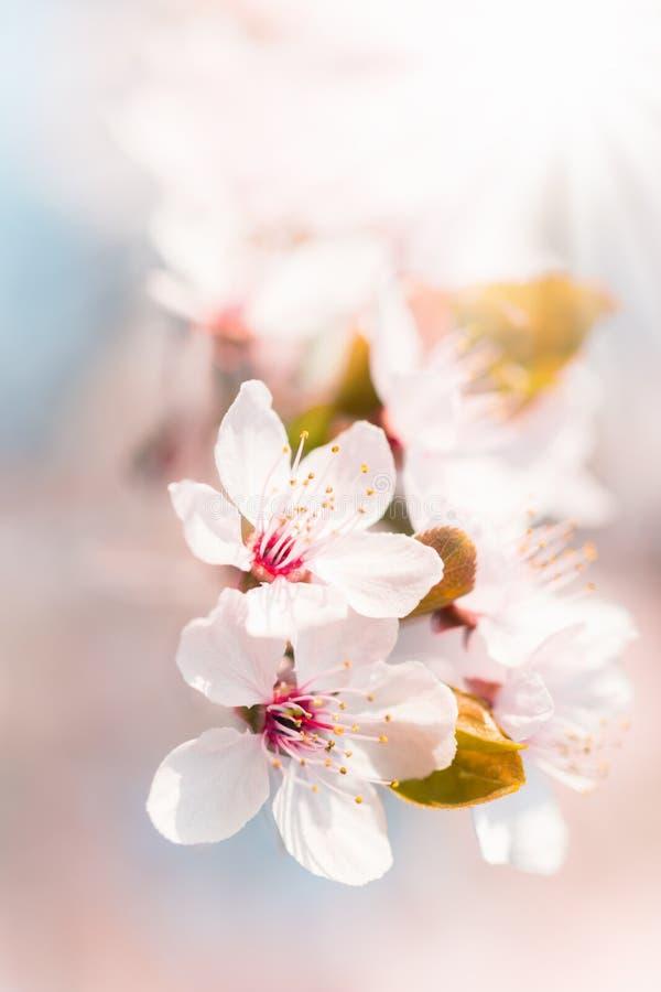blomma spruce för blomningnaturfjäder arkivfoton