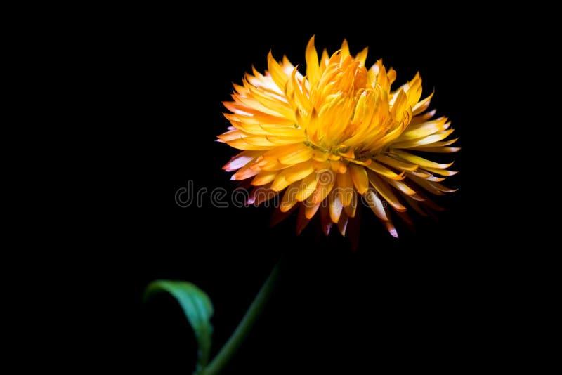 blomma sugrör royaltyfri bild