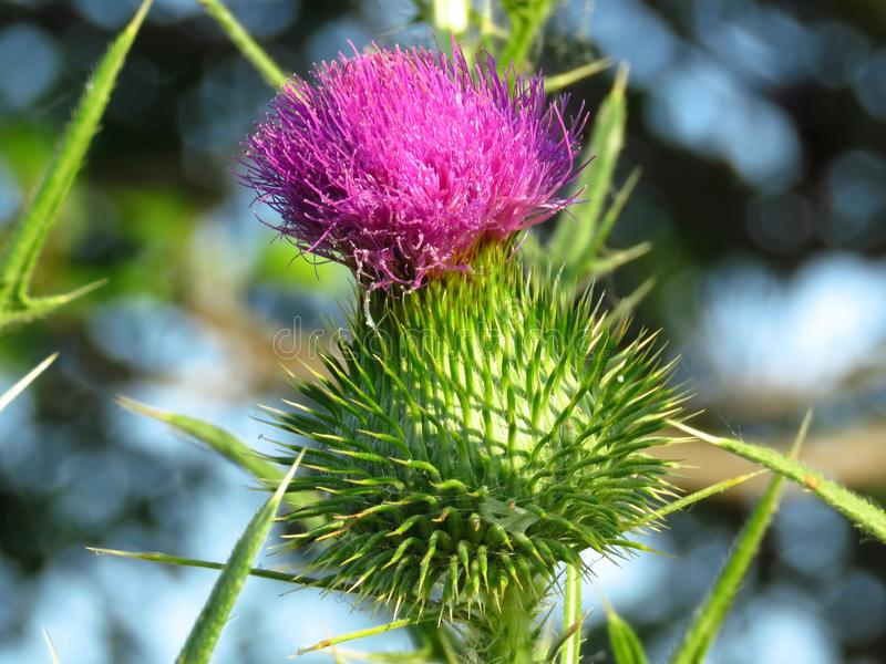 Blomma Thistle Mj?lka tistelflowerhead arkivfoton
