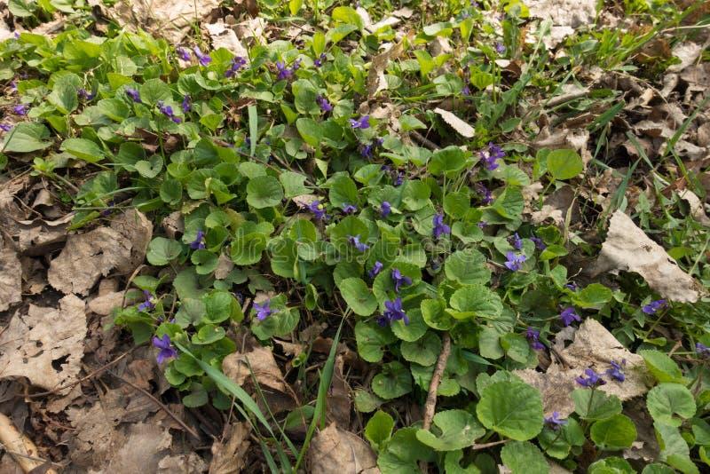 Blomma tidiga hund-violets bland stupade sidor fotografering för bildbyråer